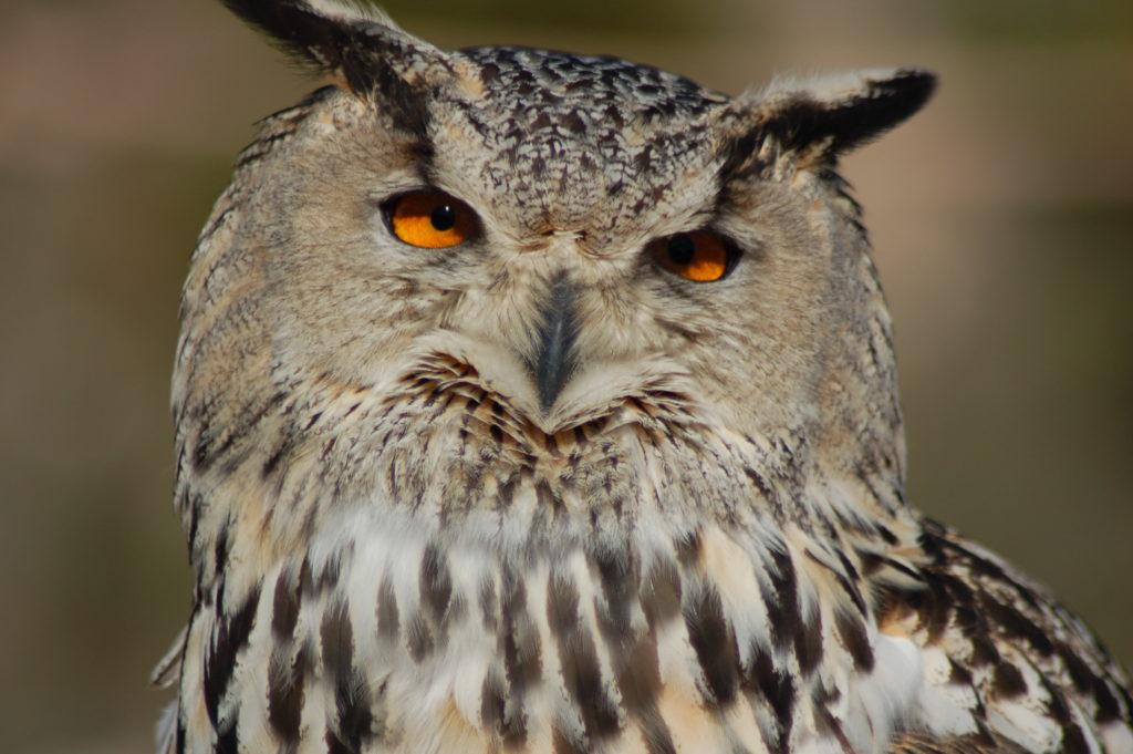 vision nocturne hibou