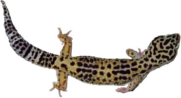 facts about the leopard gecko